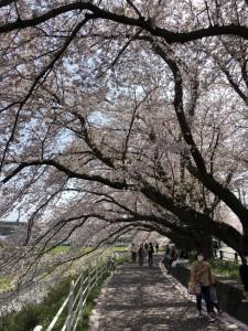 2018-04-01桜トンネル