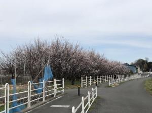 2019-03-10俣野梅林2